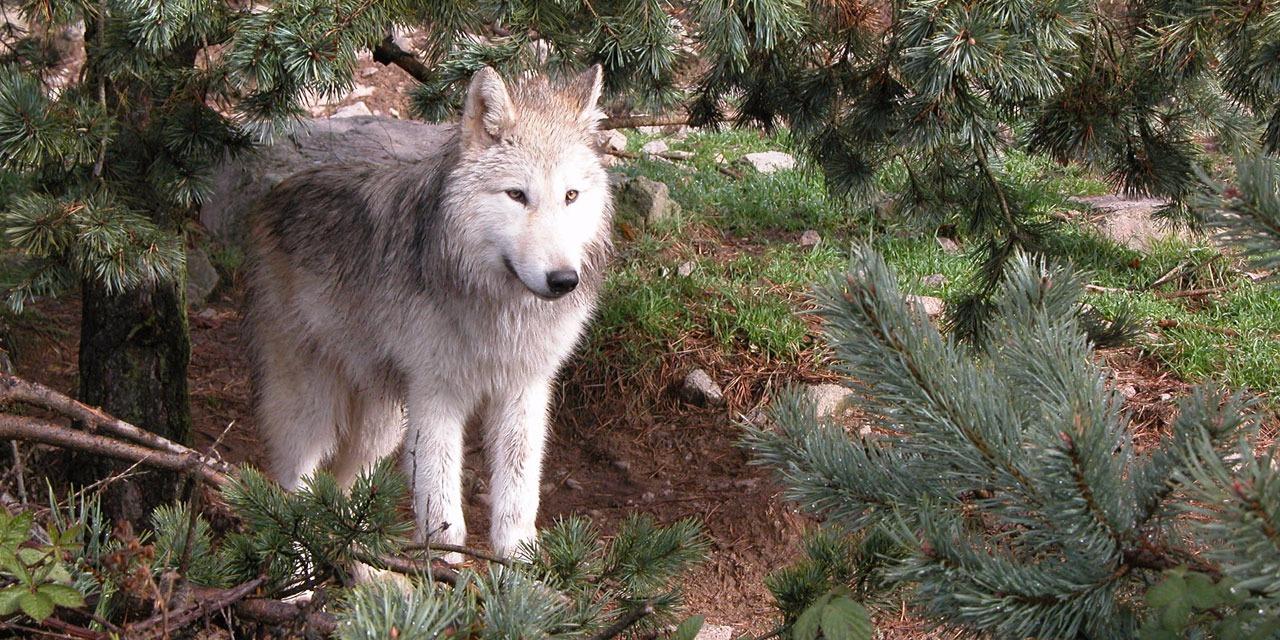 L-abattage-supplementaire-de-deux-loups-autorise